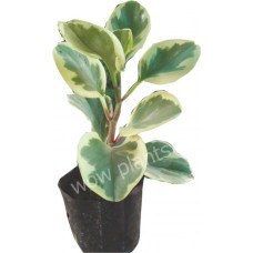 Pepperomia variegated